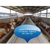 山东肉牛养殖场二百斤鲁西黄牛价格