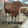 小毛驴市场价格 鲁西黄牛哪里有卖