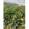沈阳昌锦月季园常年销售月季花苗玫瑰花苗藤本月季灌木月季