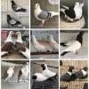 供应观赏鸽肉鸽