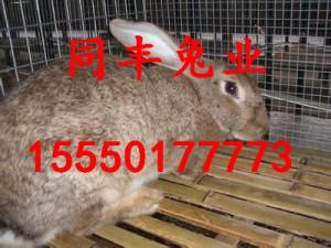 杂交野兔市场价格哪里有卖野兔的