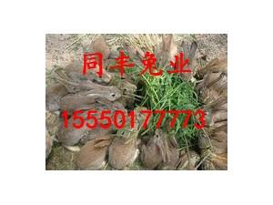 野兔养殖基地杂交野兔养殖专业户