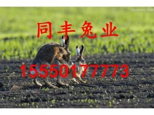 种兔养殖基地野兔价格