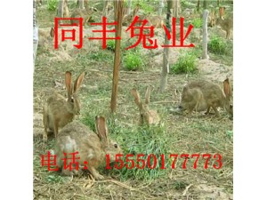 养殖场低价出售杂交野兔野兔价格