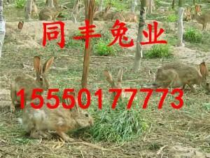 低价出售杂交野兔野兔养殖前景