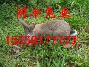 杂交野兔价格野兔养殖场