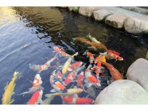 杭州锦鲤养殖场、锦鲤鱼销售