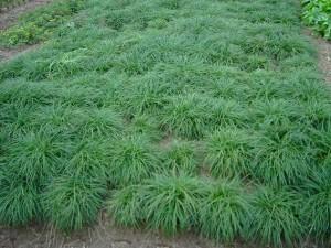 2019菏泽麦冬种植基地大量供应麦冬种子 麦冬苗