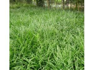 种植麦冬的发展前景与经济效益如何