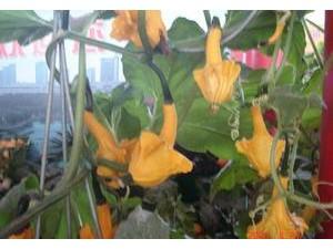 观赏南瓜多翅瓜种子袋装 玩具南瓜种子优质品种