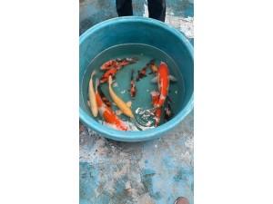 杭州锦鲤出售