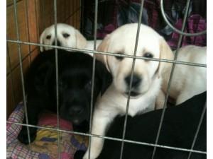 云南昆明狗场在哪里昆明本地狗场常年出售拉布拉多幼犬