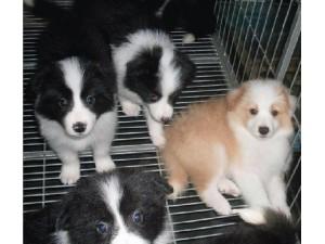 云南昆明哪里有边牧卖昆明本地狗场常年繁殖出售边境牧羊犬包运