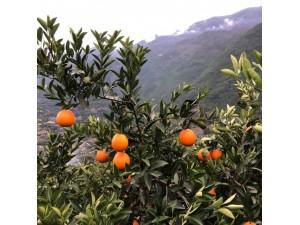 奉节脐橙,自产自销