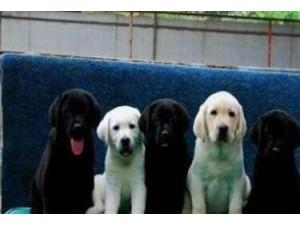 云南昆明哪里卖狗狗场常年卖拉布拉多包运