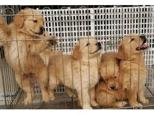 云南昆明狗场在哪里有没有金毛狗场常年卖纯种金毛