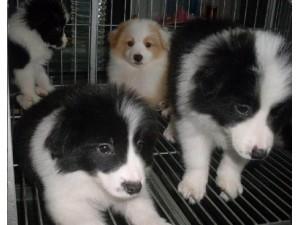 云南玉溪边境牧羊犬出售狗场边牧常年出售