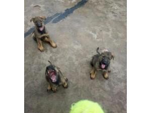云南保山本地狗场昆明犬常年出售昆明犬聪明勇敢