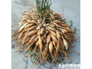 四川藏锦阁中药材种植 一斤天冬能卖45元