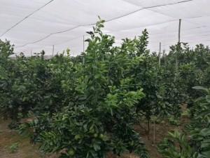 农业防虫网蔬菜脐橙种植防害虫隔离病虫传播防落果产量高