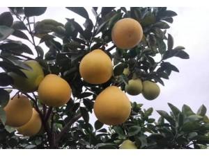 金香柚苗,金香柚苗价格,金香柚苗如何栽培