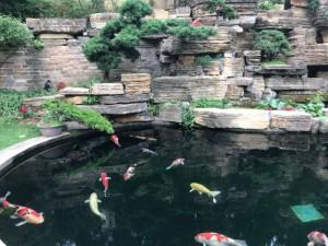 杭州买锦鲤鱼找杭州海皇星锦鲤养殖场
