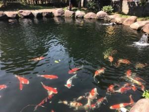 杭州锦鲤鱼池建设