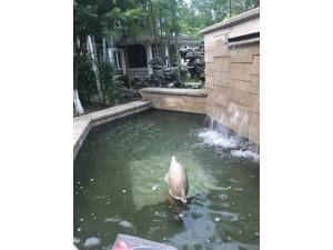 杭州锦鲤鱼池清洗